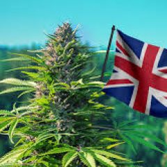 LondonWeed.Net – Top London & UK & Ireland & Scotland & Wales Weed From Spain to your Home Fast & Safe 0034602174422 Whatsapp – sat97800@gmail.com WICKR XATAX77 www.londonweed.net